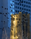 city crows_web