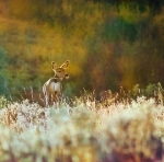 glenbow_deer_Waite_4369